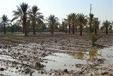 باران ۴۵ میلیارد ریال به بخش کشاورزی اندیمشک خسارت وارد کرد
