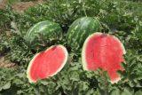خربزه و هندوانه ۱۰۰۰ هکتار اراضی کشاورزی شوش خوراک دام شد