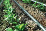 آغاز کاشت سبزی و صیفی پاییزی در اراضی اندیمشک