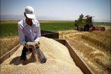 گندم خوزستان همچنان رکورددار کیفیت گندم در سطح کشور است