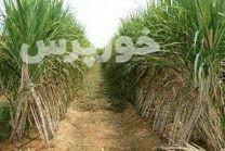 پاکدستی مدیران و کارکنان کشت و صنعت کارون و طرح توسعه نیشکر خوزستان