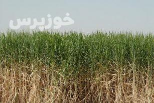 نیشکر،دوا یا بلای خوزستان؟