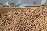 پیشبینی برداشت ۷۲۰ هزارتن چغندرقند در شهرستان شوش